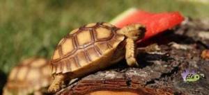 sulcata tortoise on sale
