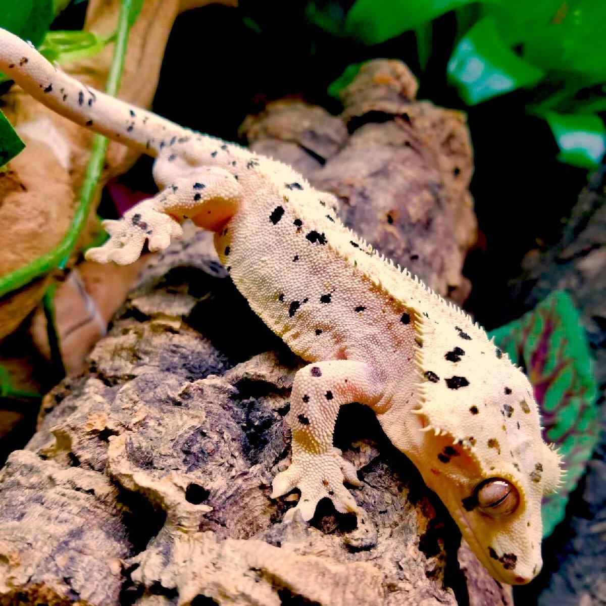 Super Dalmatian Crested gecko for sale