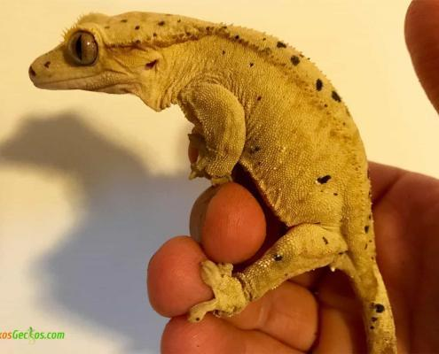 super dalmation crested gecko for sale
