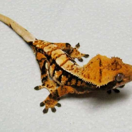 Tiger Pin Stripe crested gecko