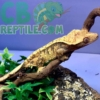 tiger pinstripe crested geckos