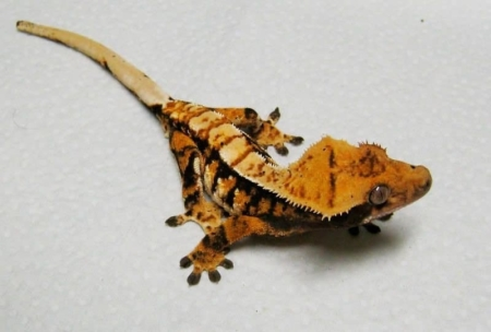 tricolor crested gecko