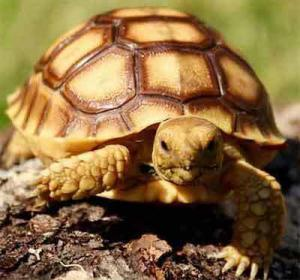 where to buy sulcata tortoise