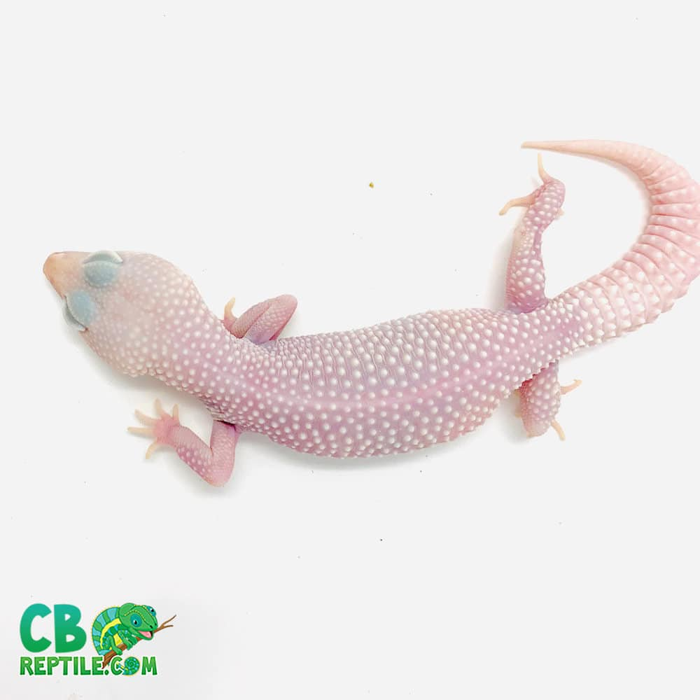 white leopard gecko for sale