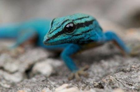 williams blue gecko
