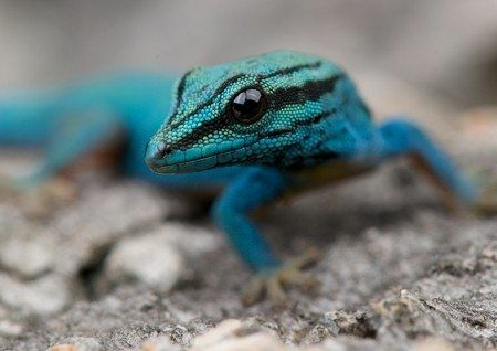 williams blue gecko