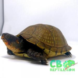 3 toe box turtle for sale