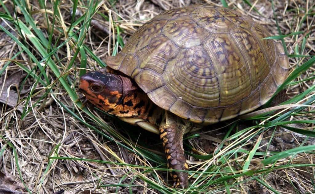 3 Toed Box Turtle Care Sheet 3 Toe Box Turtle Care Sheet 3