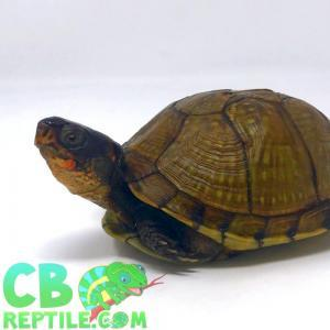 3 toed box turtles for sale