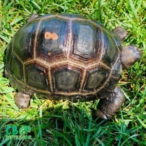 Aldabra tortoise breeders