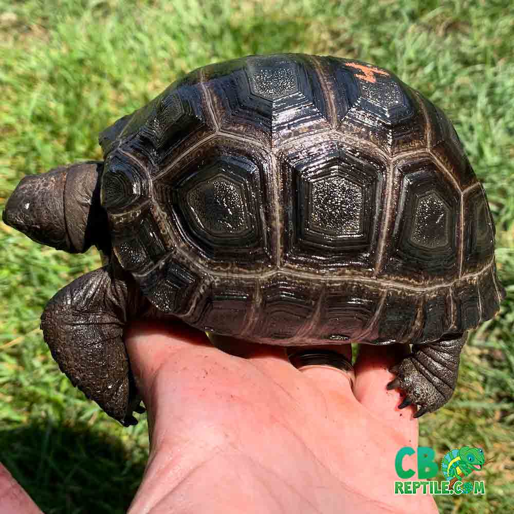 Aldabra Tortoise For