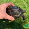 Aldabra tortoise sale