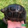 Aldabra tortoises for sale