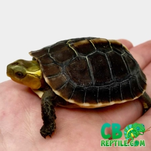 Chinese box turtles for sale
