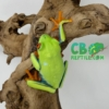 Baby red eyed tree frog for sale