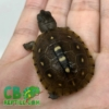 Three toed box turtle hatchling for sale
