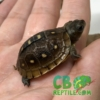 Three toed box turtle hatchling