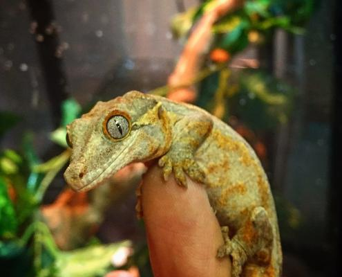 orange blotch gargoyle gecko for sale