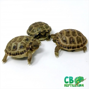 Russian tortoises for sale