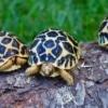 Sri Lankan Star Tortoises for sale
