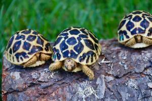 Sri Lankan Star Tortoises for sale