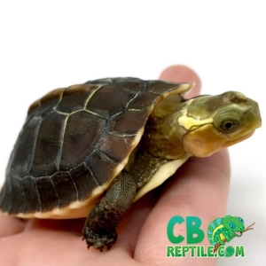 baby Chinese box turtle