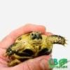 baby Russian tortoises