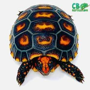 baby cherry head tortoise
