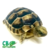 baby Marginated tortoise