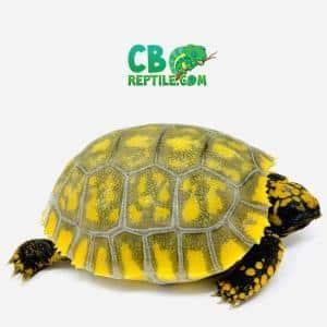 baby yellow foot tortoise