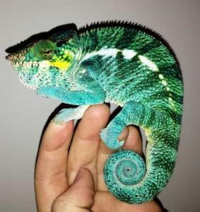 blue ambanja panther chameleon