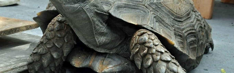 Burmese Mountain Tortoises