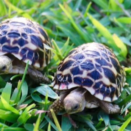burmese star tortoise for sale
