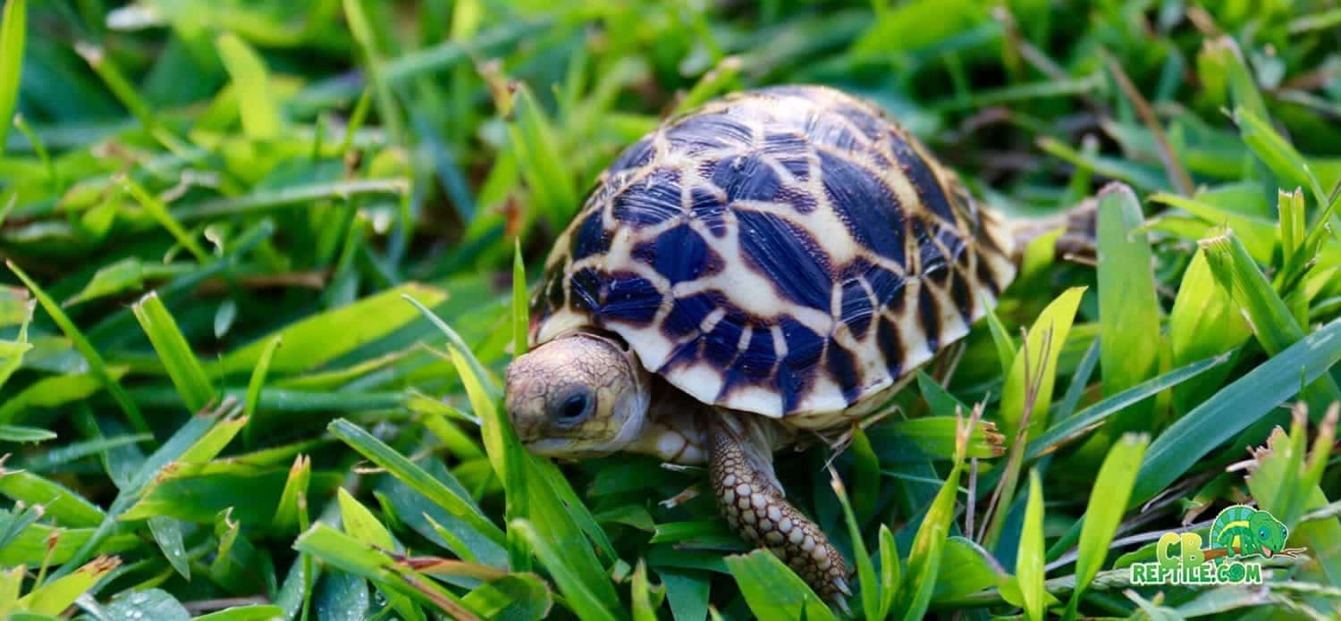 Burmese Star Tortoises For Sale Online Captive Bred