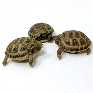 captive bred russian tortoise