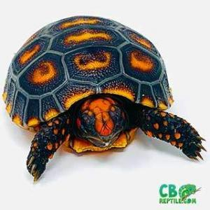 Cherry head tortoise