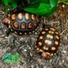 cherry head tortoise for sale