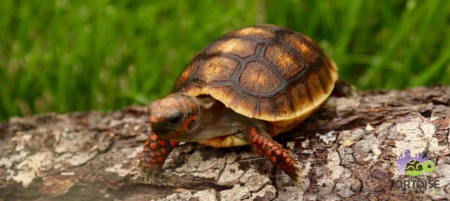 Cherry Head Tortoise