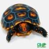 cherry head tortoise sale