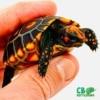 cherry head tortoises