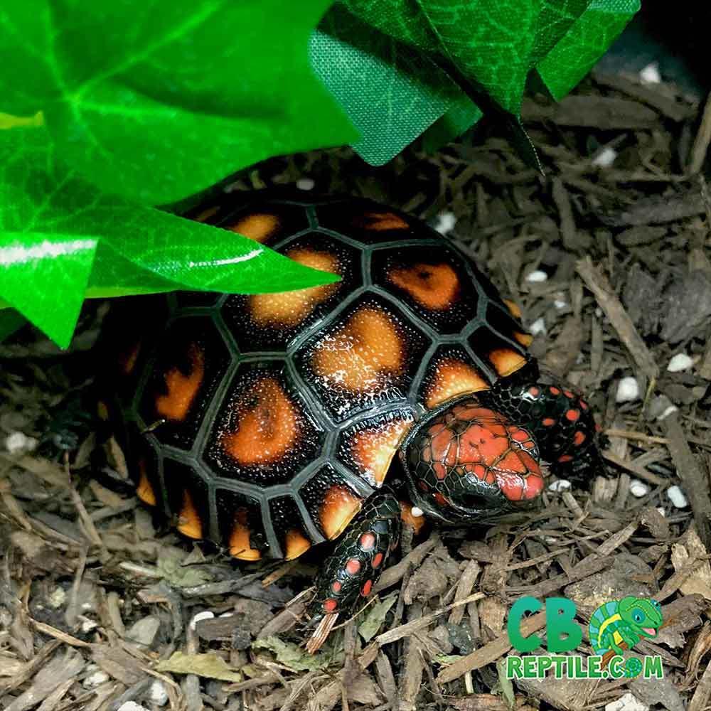 cherry head tortoises for sale
