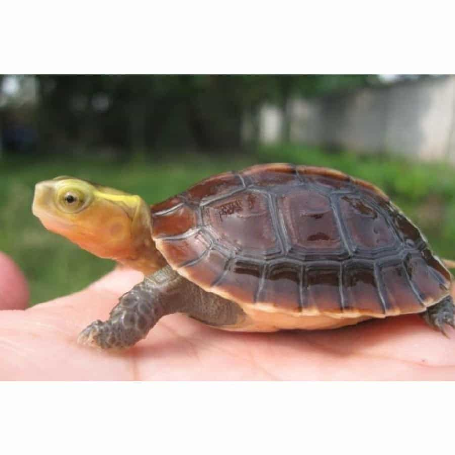 eastern box turtle characteristics and care Eastern box turtles are wonderful turtles that make amazing pets they are friendly, inquisitive, funny, and bold an animal should never go to an uneducated owner, and while this article should not be your only source of information, it has plenty of good and true information to get you started.