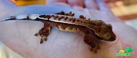 Chocolate Harlequin Crested Gecko