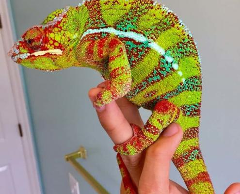 designer panther chameleon