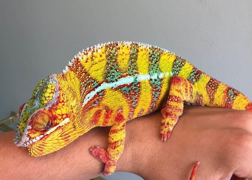 hybrid panther chameleon for sale