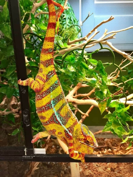 hybrid panther chameleon for sale near me