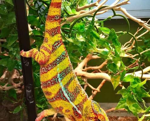 hybrid panther chameleon for sale near me