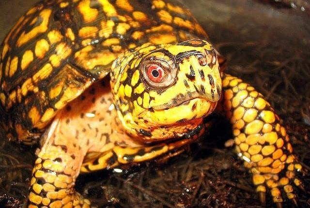 eastern box turtle for sale