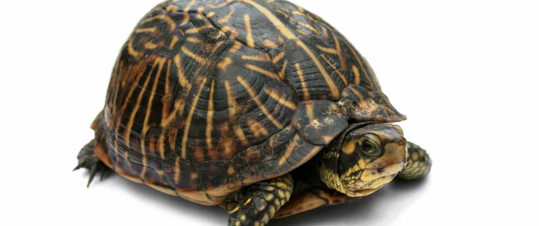 florida box turtles for sale