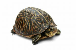 florida box turtles for sale